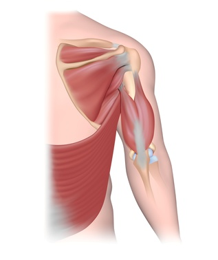 Tendons of the shoulder